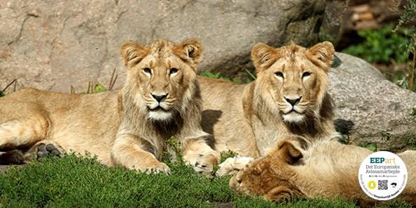 Asiatisk løve