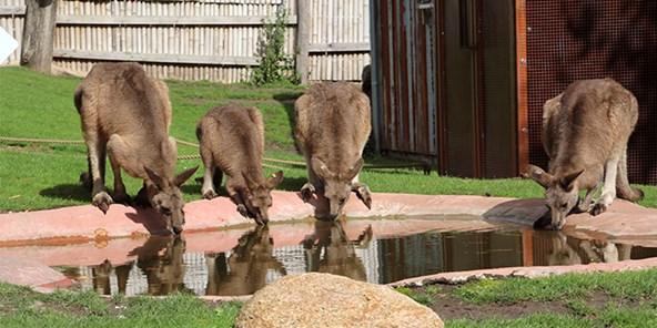 Østlig grå kæmpekænguru