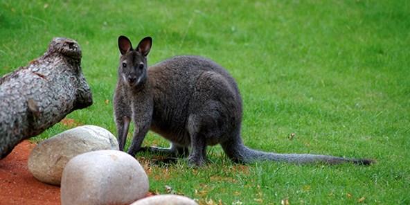 Brunhalset kænguru