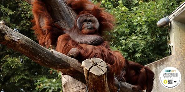 Borneo-orangutang