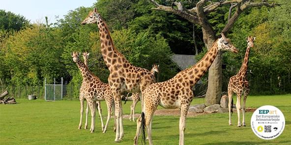 Rothschild giraf