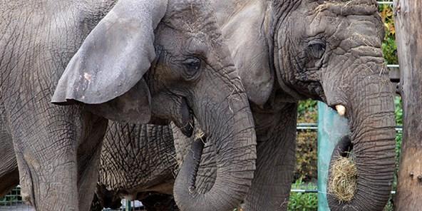 Kr. Himmelfart - Elefanter