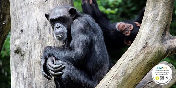 Vestafrikansk chimpanse